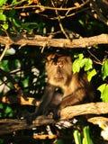 Macaque apa Royaltyfria Foton