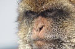 Macaque apastående, Gibraltar. Fotografering för Bildbyråer