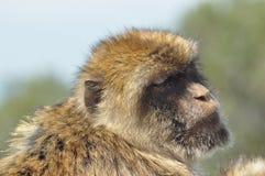 Macaque apastående, Gibraltar Fotografering för Bildbyråer