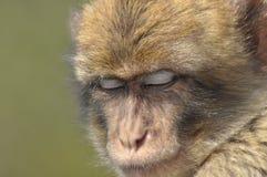 Macaque apastående, Gibraltar Arkivbilder