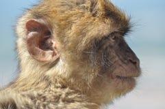 Macaque apastående, Gibraltar Royaltyfria Foton
