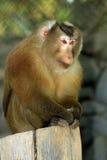 macaque assam Стоковое Фото