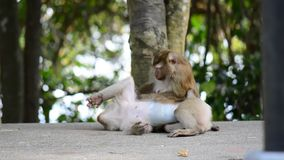 Macaque assisting other monkey to clean fleas from fur. Amazing animal behavior.  stock video footage