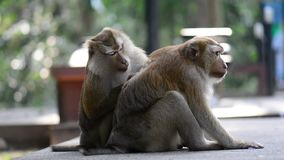 Macaque assisting other monkey to clean fleas from fur. Amazing animal behavior.  stock footage