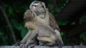 Macaque assisting other monkey to clean fleas from fur. Amazing animal behavior. Monkey kiss another monkey stock footage