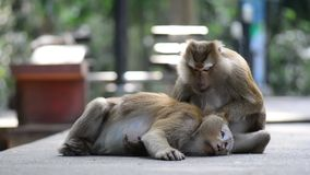 Macaque assisting other monkey to clean fleas from fur. Amazing animal behavior stock video