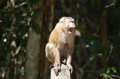 Macaque atado cerdo Fotografía de archivo libre de regalías
