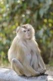 Macaque atado cerdo Imágenes de archivo libres de regalías