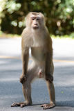 Macaque atado cerdo Foto de archivo libre de regalías