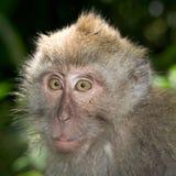 Macaque atado largo Imagen de archivo libre de regalías
