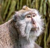 Macaque atado largo en el bosque del mono Imagenes de archivo