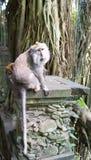 Macaque atado largo en el bosque del mono Imagen de archivo libre de regalías
