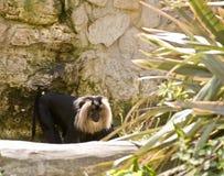 Macaque atado leão Fotografia de Stock Royalty Free