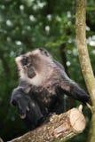 Macaque atado leão foto de stock