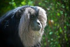 Macaque atado león imagen de archivo