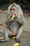 Macaque atado longo fotos de stock