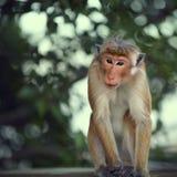 Macaque attentif Photos stock