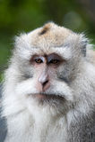 Macaque auf Bali Stockfotos