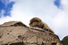 Macaque auf dem Felsen. Stockfotos