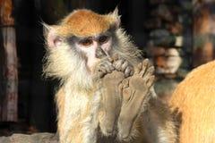 Macaque. Stock Photo