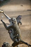 Macaque with a baby. Sri Lankan macaque with a baby monkey extorting biscuits from tourists Royalty Free Stock Photo