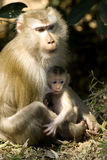 Macaque with baby Stock Image