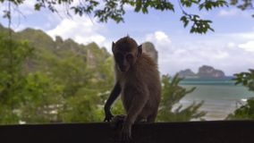 Macaque Baby. Stock Photo
