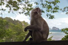 Macaque with Baby. Royalty Free Stock Photo