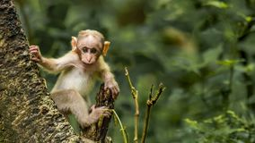 A macaque baby getting curious on seeing the camera. Baby of a bonnet macaque on an active playful morning - creating eye contact with the lens / camera royalty free stock photography