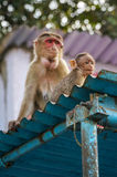 Macaque and baby Stock Photography