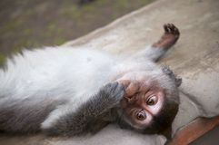 Macaque Baby is relaxing. On a temple stone in Monkey temple Indonesia Stock Photos
