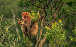 macaque barbary Гибралтара Стоковое Изображение