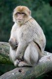 macaque barbary Стоковые Фото
