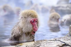 Macaque Stock Photos