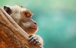 Macaque. Behind the tree branch Stock Photography