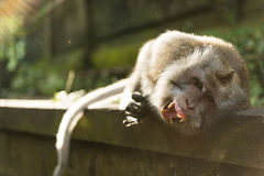 Macaque with big teeth Royalty Free Stock Photos