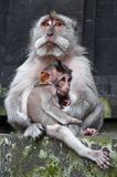 Macaque boss with child. Looking far away in buddhist temple Stock Photo