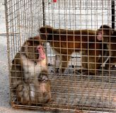 Macaque in a cage Royalty Free Stock Images