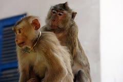 Macaque Cambodia Stock Image