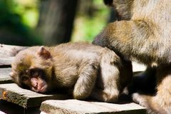 Macaque care Royalty Free Stock Photo