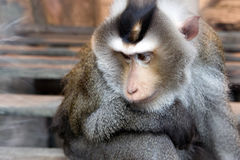 macaque Cerdo-atado Fotografía de archivo libre de regalías
