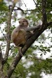 Macaque chino en árbol Imagen de archivo libre de regalías