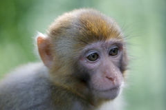 Macaque closeup Royalty Free Stock Photo