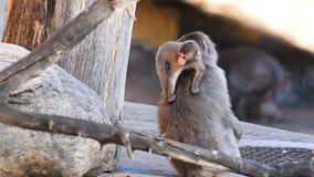 Macaque com bebê video estoque