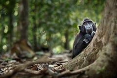 Macaque com crista novo que olha curiosamente na câmera na selva Feche acima do retrato Macaque com crista preto end?mico naughty fotografia de stock royalty free