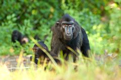 Macaque com crista preto Foto de Stock Royalty Free