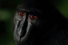 Macaque com crista preto de Sulawesi, reserva natural de Tangkoko Imagens de Stock Royalty Free
