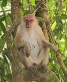 Macaque com focinho vermelho em uma árvore Imagens de Stock