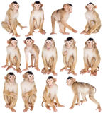 Macaque con coletas juvenil, nemestrina del Macaca, en blanco imágenes de archivo libres de regalías