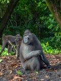 Macaque crêté de Sulawesi de mâle alpha photo stock